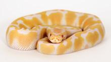 Albino Royal (Ball) Python - 2015 Female ♀ (EIR-2015-002)