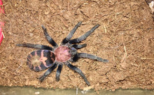 Mexican Tiger Rump Tarantula (Cyclosternum pentalore)