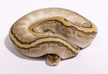 Butter Pinstripe Royal (Ball) Python Female CB2017 ♀