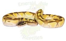 Butter Pastel Enchi Royal (Ball) Python Female CB2017 ♀