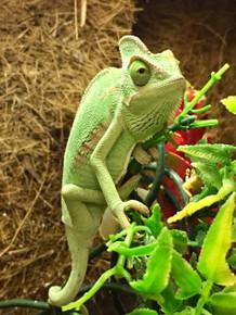 Yemen Veiled Chameleon