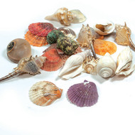 Large Seashell Assortment - 8 oz