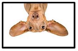 upside-down-ears-no-bubble-black-line.jpg
