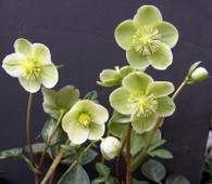 Helleborus x ballardiae HGC 'Moonlight Marble' AKA 'Spring Party'