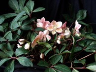 Helleborus x ballardiae 'Raulston Remembered'