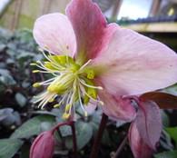 Helleborus x ericsmithii 'Angel Glow'