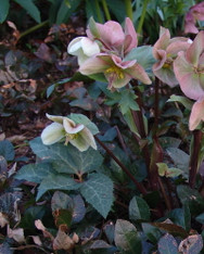 Helleborus x eric. 'Winter Moonbeam'