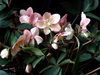 Helleborus x eric. 'Winter Sunshine'