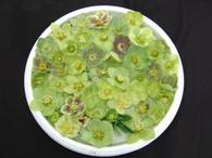 Helleborus x hybridus PK Select Green