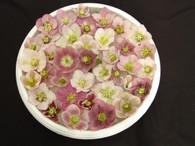 Helleborus x hybridus PK Select Pink Spotted