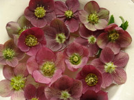 Helleborus x hybridus PK Select Red