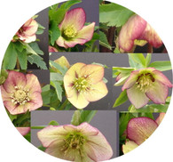 Helleborus x hybridus PK Select Rhubarb and Custard