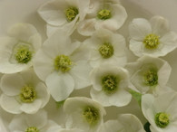Helleborus x hybridus PK Select White
