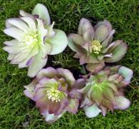Helleborus x hybridus Pine Knot's Southern Belles Double Bicolors