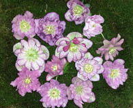 Helleborus x hybridus Pine Knot's Southern Belles Double Pink Spotted