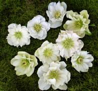 Helleborus x hybridus Pine Knot's Southern Belles Double Whites
