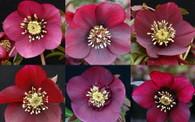 Helleborus x hybridus NGN Sin Ruby Wine Strain