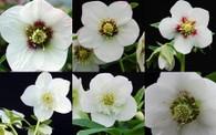 Helleborus x hybridus NGN Sin White Pearl Strain