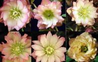 Helleborus x hybridus Amber Gem Strain