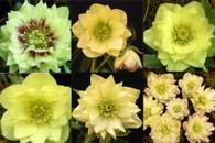 Helleborus x hybridus NGN Dbl Golden Lotus Strain