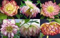 Helleborus x hybridus NGN Dbl Rose Quartz Strain