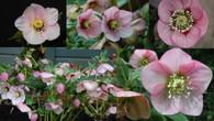 Helleborus x hybridus NGN Sin Apple Blossom Strain