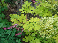 The yellow flowers of H. foetidus 'Gold Bullion Strain' combined here with Dicentra spectabilis 'Gold Heart'