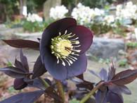 Helleborus x hybridus 'Ruse Black'