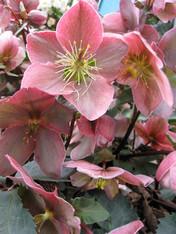 Helleborus x ballardiae 'Platinum Rose'