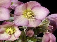 Helleborus Ice n' Roses Pink'