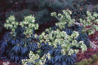 Helleborus foetidus 'Piccadilly'