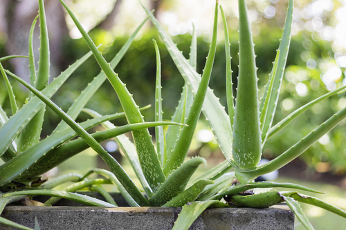 5 Amazing Skincare Benefits of Aloe Vera