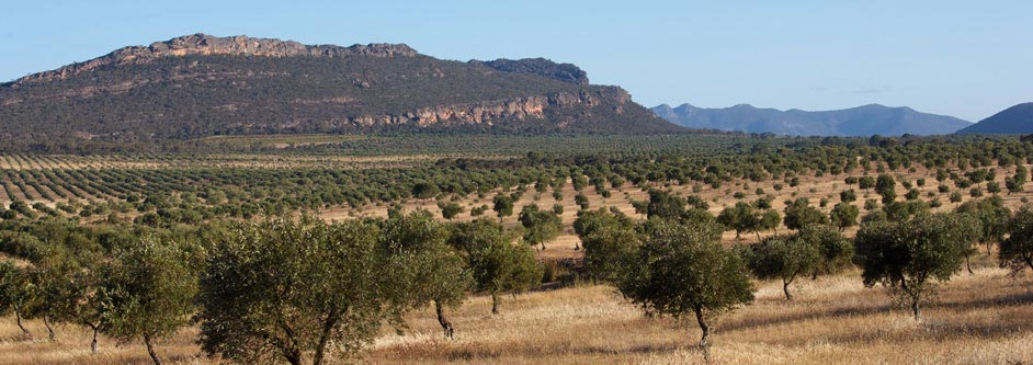 Australian organic olive oil