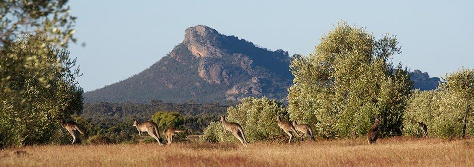 Australian organic olive grove