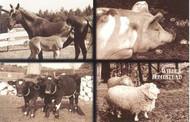 Postcard - farm animals