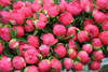 'Coral Charm' - 100 stems