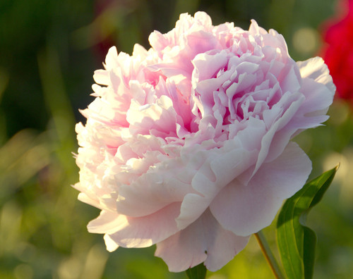 Large, 3-5+ eye, 16 oz minimum root mass  Coral Sunset is an American Peony Society Gold Medal Winner.  Vibrant coral flowers bloom 5-10 ahead of Coral Charm.  These are very vigorous plants with strong, tall, stiff stems, and heavy set flower buds.