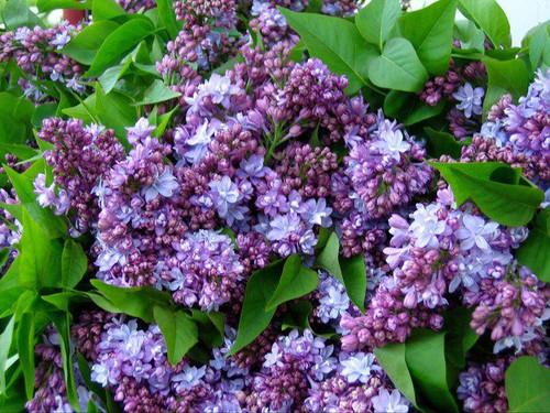 Syringa Bloomerang® | Granja de flores blancas