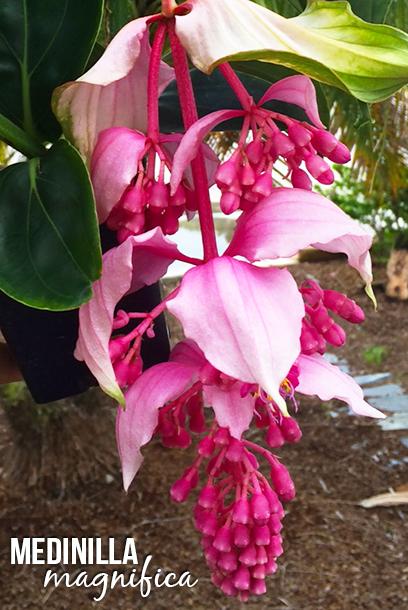 Pink lantern, Medinilla magnifica