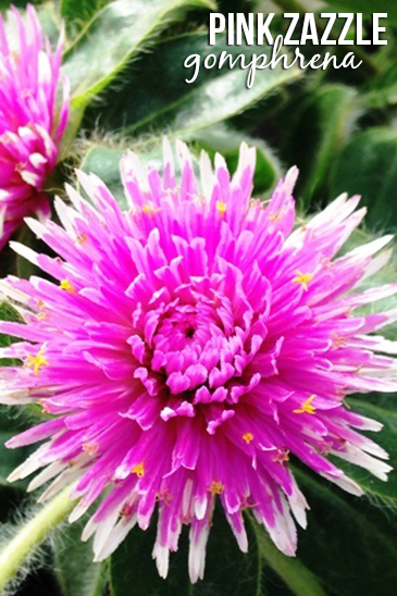 Pink Zazzle gomphrena