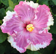 C'est Bon hibiscus