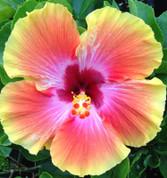 Cosmic Dancer hibiscus