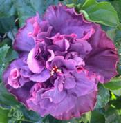 Bayou Rose hibiscus
