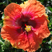Big Easy hibiscus