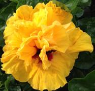 Cajun Gold hibiscus