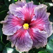 Delta Dawn hibiscus