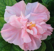 Sweet Pink hibiscus