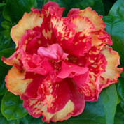 High Definition hibiscus