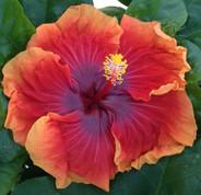 Imperial Dragon hibiscus
