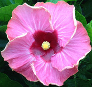 Creole Fire hibiscus